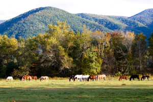 Horses roaming in Cades Cove in the Great Smoky Mountains National Park
